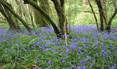 Welsh bluebells in the Gwyddil valley