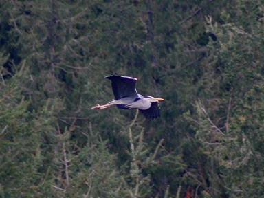 Heron in flight through our valley